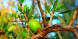 fruct din care se uleiuil de argan